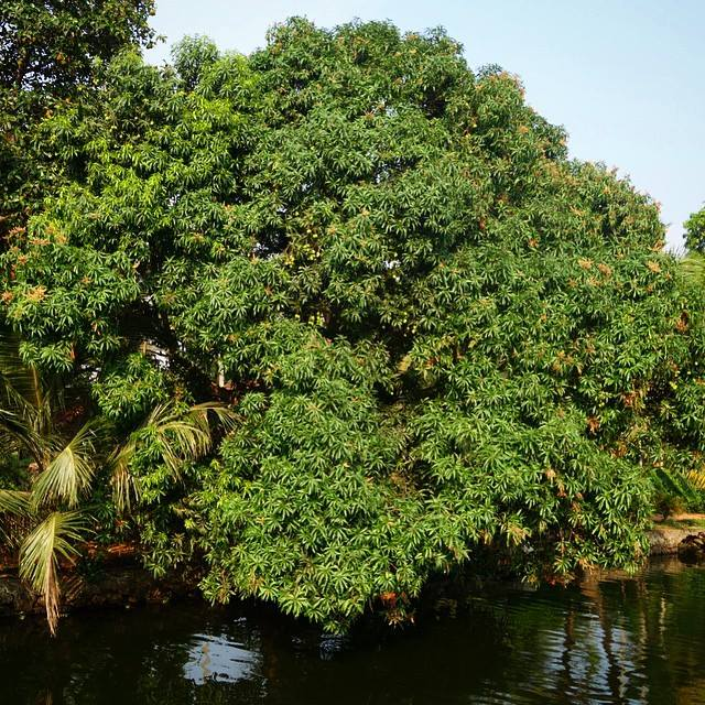 This is one glorious mango tree along the backwaters that we saw from our luxury houseboat in Alleppey, Kerala.